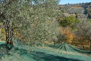 olive Harvest Italy