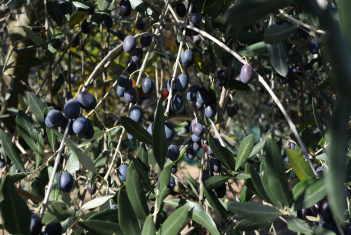 olive Umbria