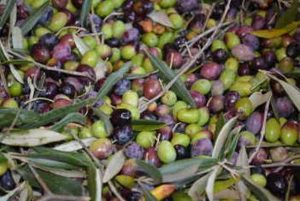 Olive Harvest vacation Italy