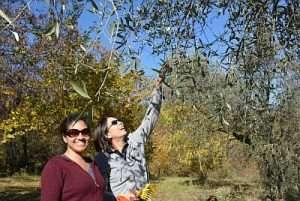 Olive Harvest 2011